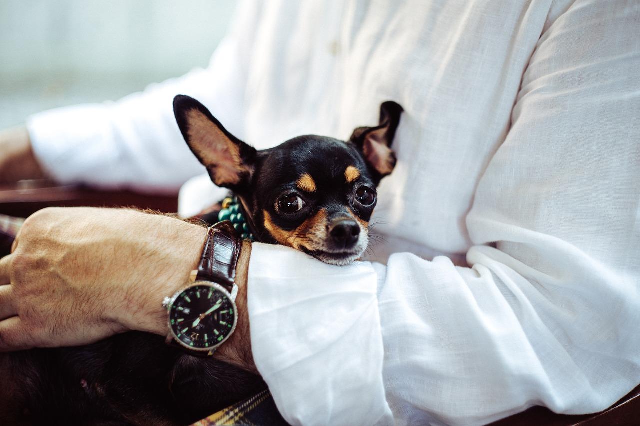 Pinscher, Chihuahua E Cani Di Piccolissima Taglia: Perché Sono Così Simili  Tra Loro?
